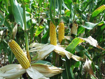 corn - tbi